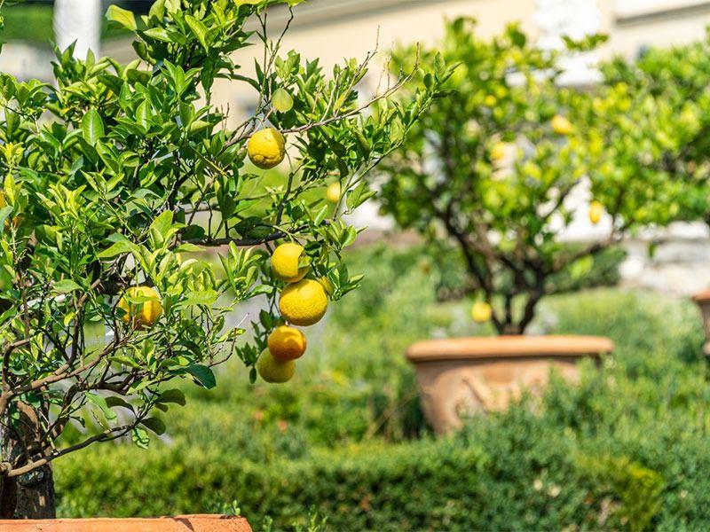Adım Adım Evde Limon Nasıl Yetiştirilir?